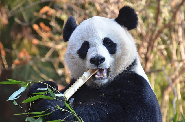 panda sex