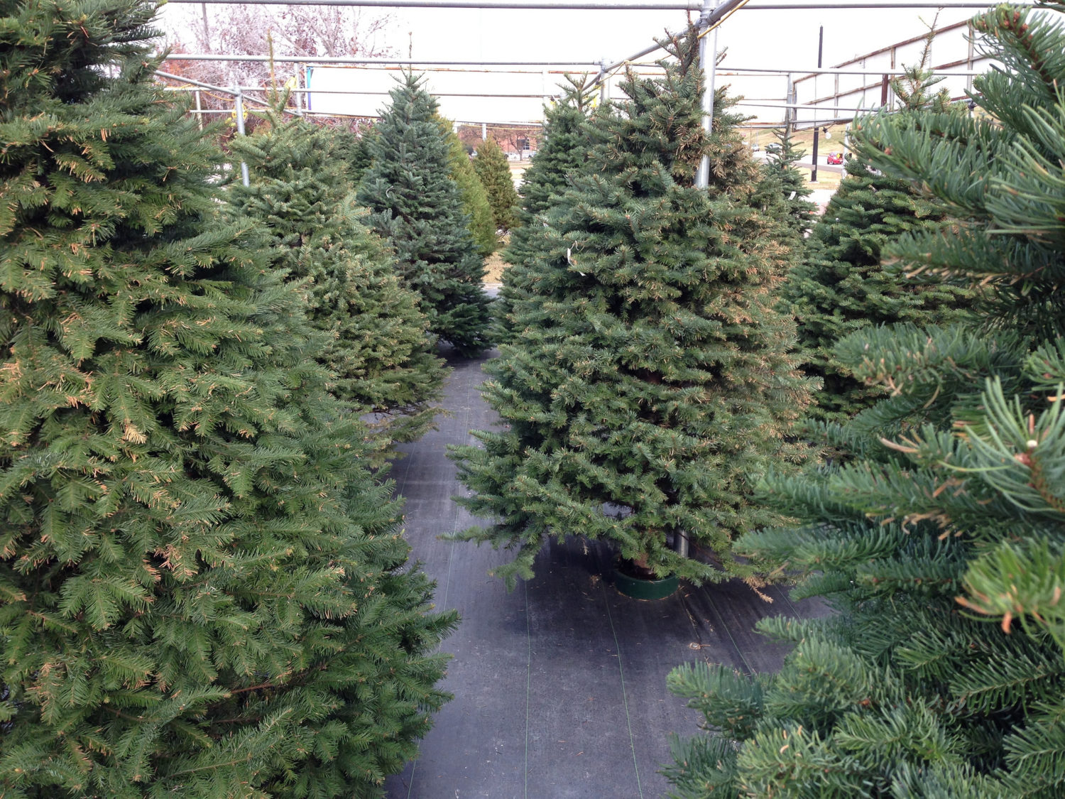 Here S Where You Can Get A Christmas Tree In D C